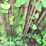 Knotweed in Carrigtwohill